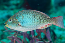 BD-101208-Cozumel-2870-Sparisoma-viride-(Bonnaterre.-1788)-[Stoplight-parrotfish].jpg